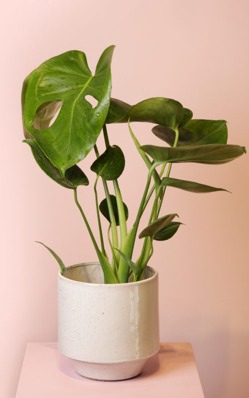 planta-monstera-absolutaflora03