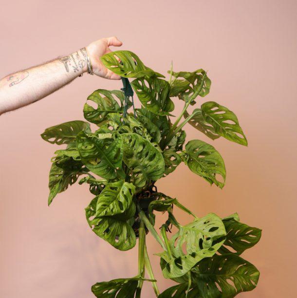 planta-monstera-adansonii-absolutaflora02